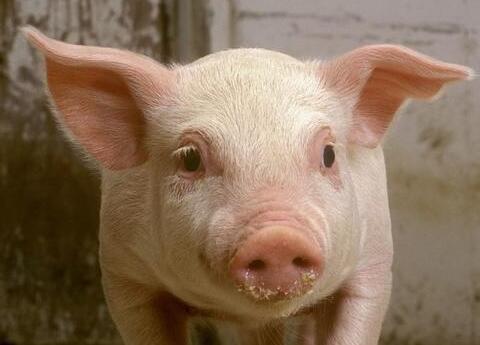 农村养猪:资深养猪农告诉你,看猪肤色判断猪病!