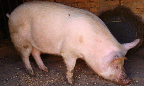 人会传播猪病吗?