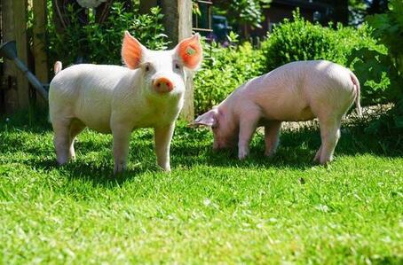 兽医在猪病防控上最易犯的六大错,有你吗?