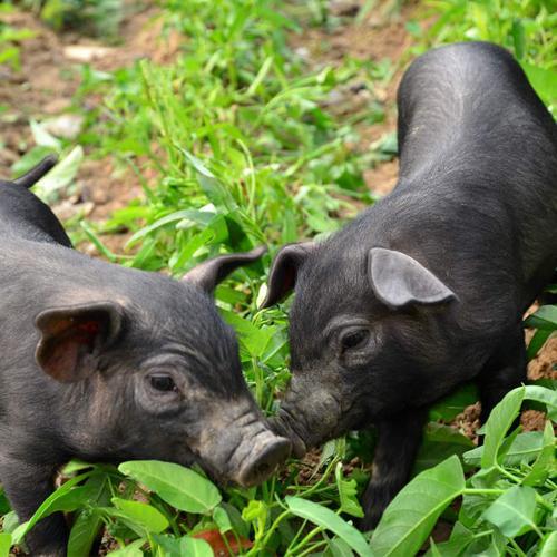 猪价跌饲料涨!新希望、正邦等35家饲企最高涨160元/吨,猪价一周跌了近3元/公斤...
