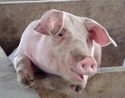 猪病小常识:温盐水治猪鼻炎