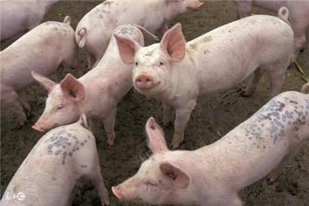 如何正确解决猪发烧,猪低烧时该怎么处理?
