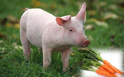 养猪过程中,有一种病养猪人都忽视了,损失可不小