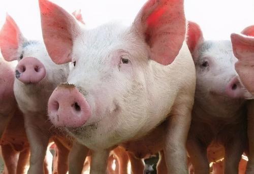 猪肉连降15周,价格跌近30%!猪粮比还在8:1养户为何纷纷陷入亏损泥潭?