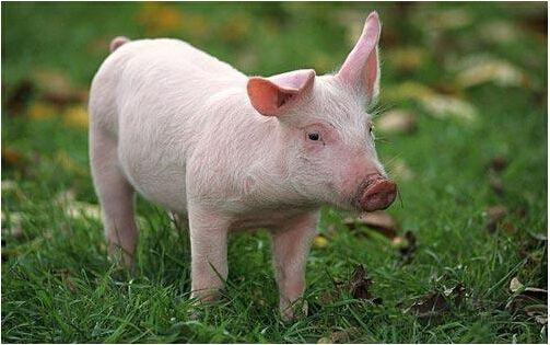 生猪养殖风向标失效 产业格局生变数
