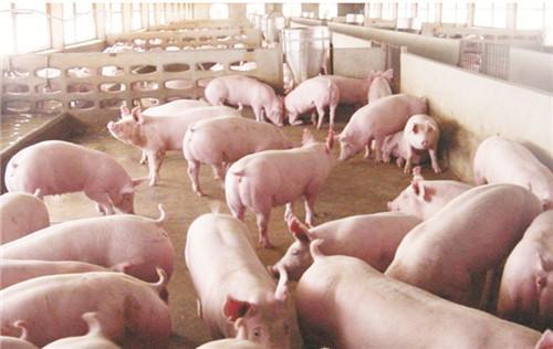 拐点已至?东北猪价大涨0.5元/斤,券商:5月底大概率反弹.....