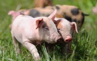 行业人士:培育特色猪种需要具有品牌基础的企业来牵头