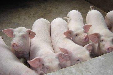 低蛋白日粮在养猪生产中的应用进展