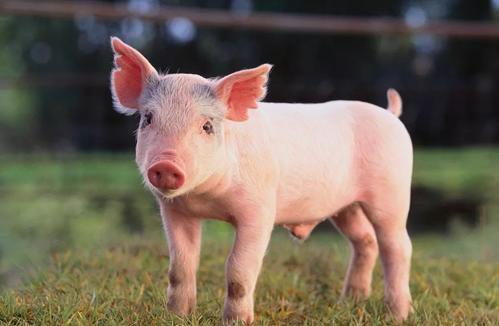 猪病偏方收集 这些猪病偏方可能正是你在寻找的