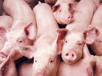 官方:年出栏肥猪超6.9亿头!猪价反弹落空!为何有人看好后市?