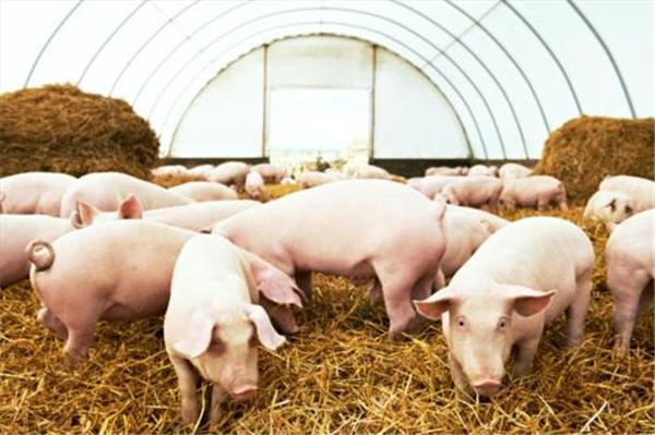 """猪价上涨,但""""一风险""""正在酝酿,养猪人却浑然不知"""