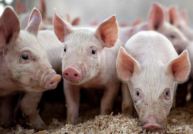 养猪人极易忽视的猪病,实际危害巨大!
