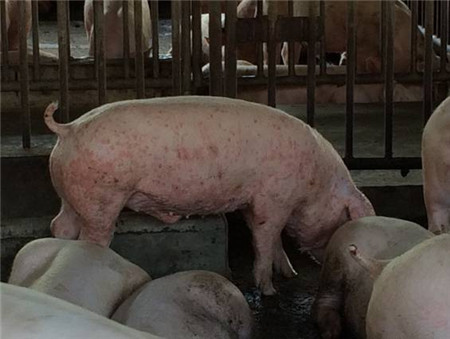 猪身上起红斑?千万别忽视!