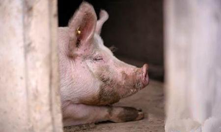 偏方治大病 这些省钱有效治疗猪病的土法总有一款适合你家猪