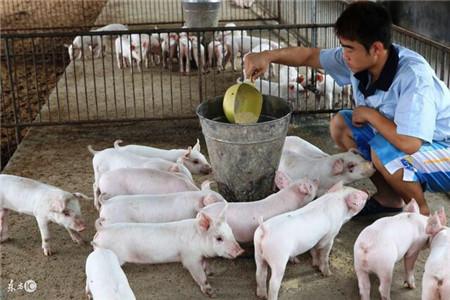 猪反复发烧的巧治,很多养猪人不懂,学会让你养猪更轻松