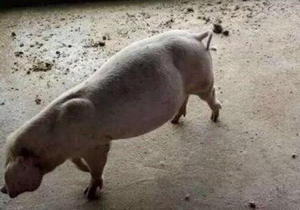 猪得胀气束手无策,看看这几个方法你用了没?