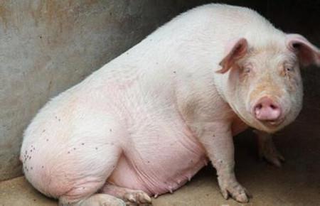 养母猪一定会遇到的七大问题!