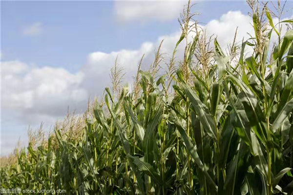 五月份已经购买美国玉米816万吨!