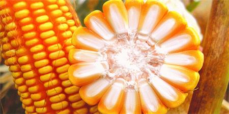 玉米止涨趋稳,已到高点?