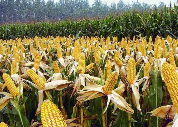 我国玉米进口的震动。