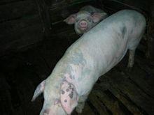 养猪户分享:这两种猪病的诊断治疗方法