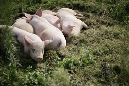 农村养殖猪病了怎么办?教你四招过滤方法,让你每只都健康