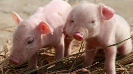 猪场中遇到猪瘟超免需要注意什么?