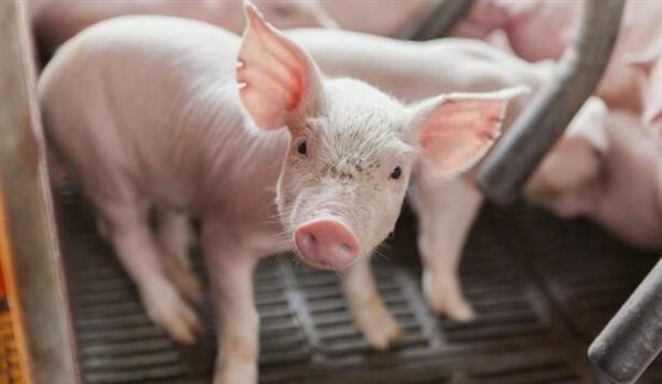 发改委最新数据:猪价较高点跌去35.7%!养猪头均利润创新低