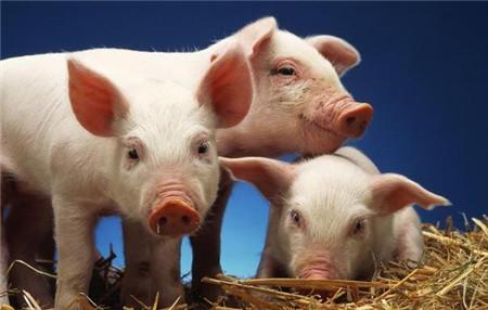 胡萝卜不但能让母猪多产还治猪病!胡萝卜喂猪这些好处你都知道吗
