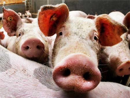 猪咳喘用什么药拌料最好?
