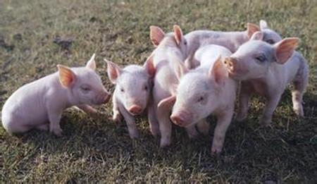 猪场常见猪病—球虫病