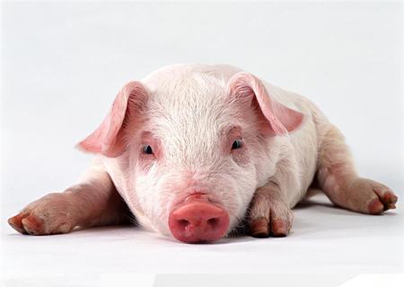 偏方巧治猪病,猪病治疗的几个偏方