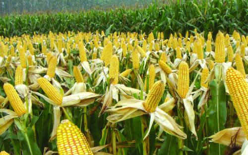 """月玉米价格上涨面临4大阻力!"""""""