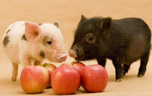 关注断奶仔猪腹泻,猪友需要考虑这些
