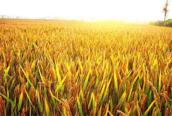 玉米价格下跌了,你担心吗?
