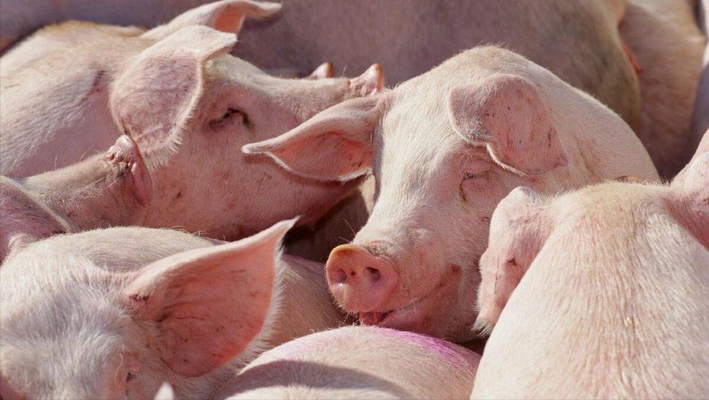 生长育肥猪常见疾病的临床表现及防控
