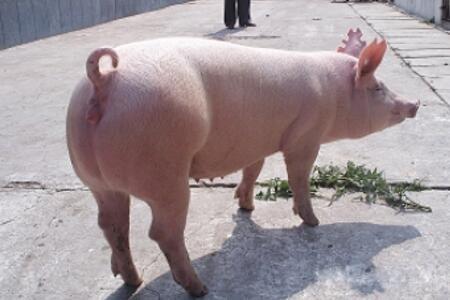 母猪闭尿症如何防治?