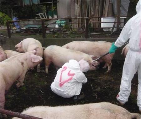 猪场爆发口蹄疫,兽药说:最全防治措施在这里!
