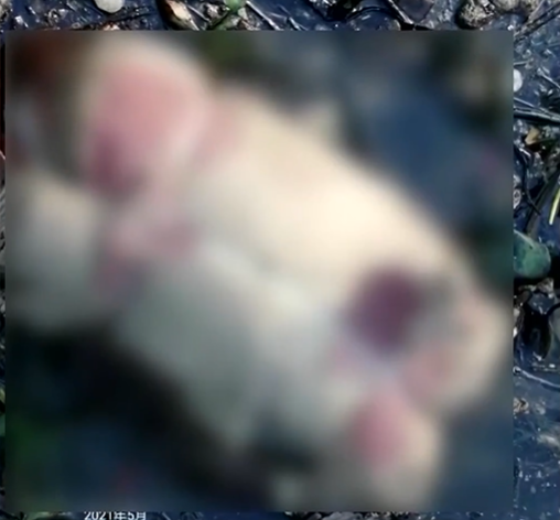 珠江水面惊现1.6吨猪腐肉!来源仍在查