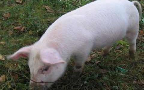 猪皮肤上红色斑点发生的病案解析和防治方法