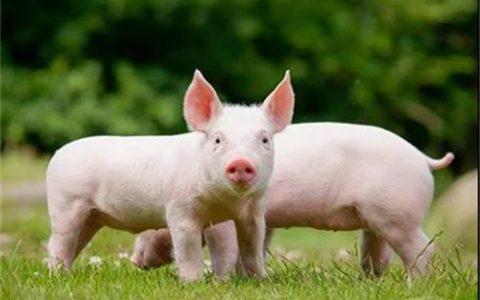 猪肉价格同比下降46.9% 牧原股份三季度发生亏损 暗示了什么?